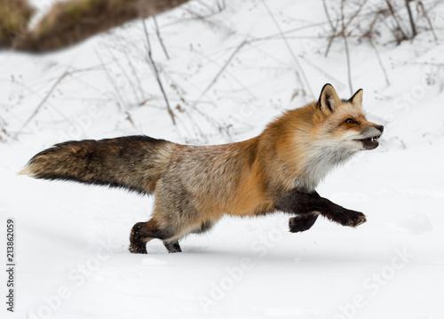 Fototapeta Red Fox (Vulpes vulpes) Runs Right