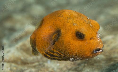 Pomarańczowy Puffer Ryby