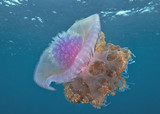 Colorful Jellyfish in ocean - 213862891