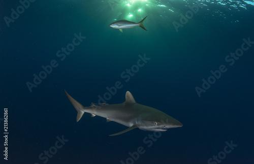Foto Murales Reef Shark hunting in ocean