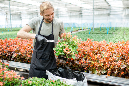 Worker cutting blossom of flowers for better growing in the greenhouse of plant production farm - 213863412