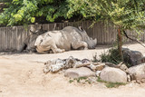 white rhinos resting under the shade of a tree - 213880062