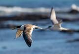 Seabirds of Australia - 213899033