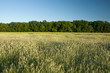 A field of grain, forest and sky - 213902633