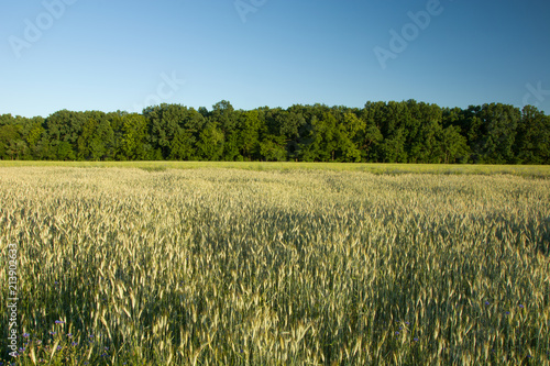 A field of grain, forest and sky