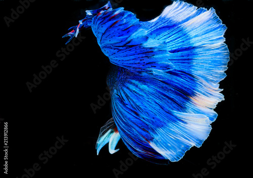 Canvas Iris Halfmoon betta fish, siamese fighting fish, Capture moving of fish, Betta splendens
