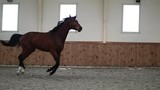 Big beautiful Horse galloping towards the Camera - 213916665