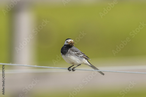Wagtail that has its beak full of mosquitos on a wire - 213917476