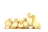 Little yellow ducklings on white background