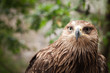 Close-up portrait of golden eagle