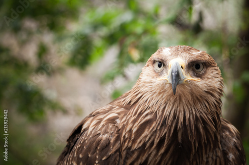 Canvas Eagle Close-up portrait of golden eagle