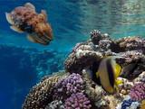 Pennant coralfish (longfin bannerfish) and cuttlefish - 213930218