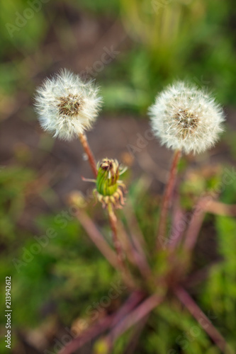Fototapeta Fluffy dandelion on nature
