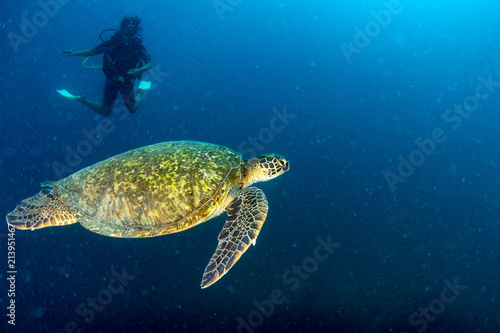 Foto Murales Sea Turtle portrait close up while looking at you