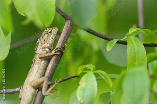Plexiglas Kameleon Chameleon on branch.