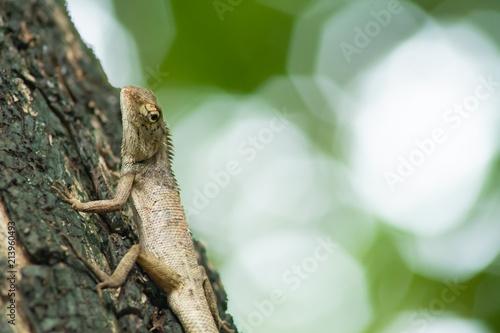 Fototapeta Chameleon on branch.