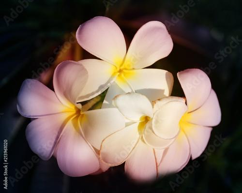 Foto Spatwand Plumeria Photo of a tropical tropical beautiful flower