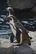 Penguins - 213961460