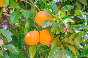 Oranges on tree.
