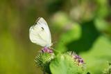 Kleiner schwarz gefleckter Kohlweißling (Pieris brassicae) Schmetterling bestäubt grüne blühende Acker-Kratzdistel  - 213987025