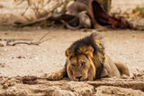 Male lion drinking at a waterhole with a carcass of an eland in the background in the Kgalagadi Transfrontier Park in South Africa