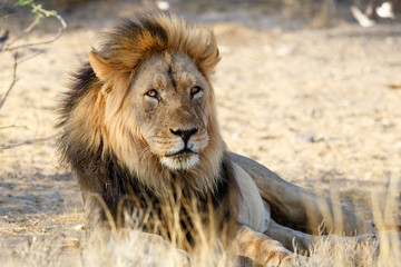 Male lion in the Kgalagadi Transfrontier Park in South Africa