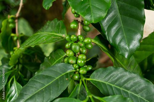 Arabian coffee beans (Coffea arabica), green, growing on plant - Davie, Florida, USA