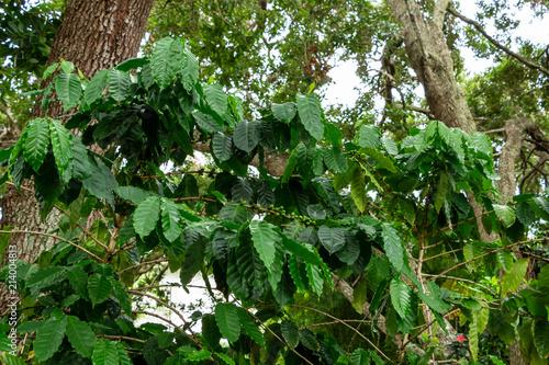 Arabian coffee plant (Coffea arabica), with green beans - Davie, Florida, USA