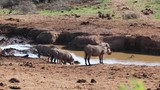 Warthogs drinking from Pond - 214008879