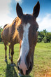 Funny horse on the meadow at animal shelter looking at camera. - 214011285
