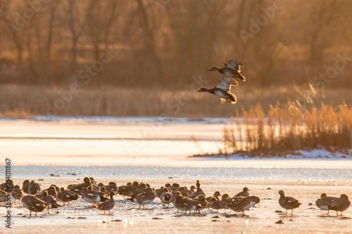 Foto Murales Ducks on water