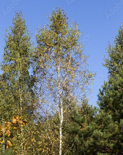 Foto Spatwand Berkenbos yellow birch