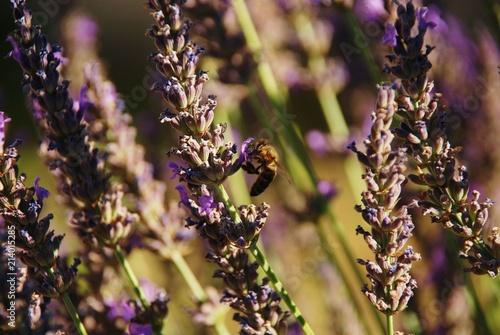 Canvas Lavendel abeille butinant fleurs de lavande, Provence