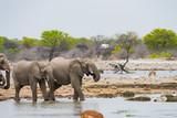 Elephants drinking at a water hole in Etosha, Namibia - 214019046