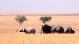 elephants eating. Serengeti national park, Tanzania - 214044818