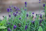 close up of blooming lavender flowers in the garden - 214046839