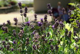 close up of blooming lavender flowers in the garden - 214046879