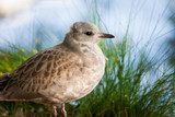 Young wild seagull standing - 214075870