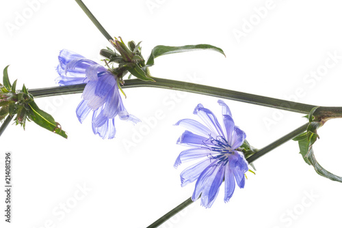 Wall mural Chicory flower (Cichorium intybus) close up on a white background