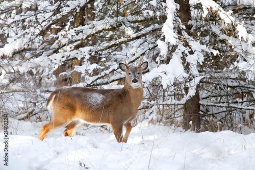 Fototapeta White-tailed deer buck in the winter snow in Canada