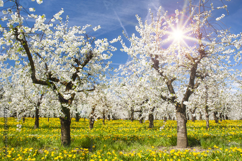 Leinwandbild Motiv Apfelbaumplantage in Blüte