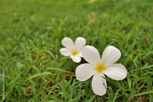 Foto Spatwand Plumeria two plumplaints fall on the green grass