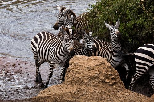 Fototapeta Zebra (Equus quagga)