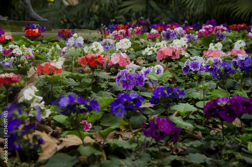Jardín con muchas plantas Geranio. (Geranio)  © yaninaamira