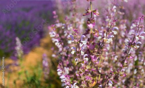 Flowers of Provence. © Marina