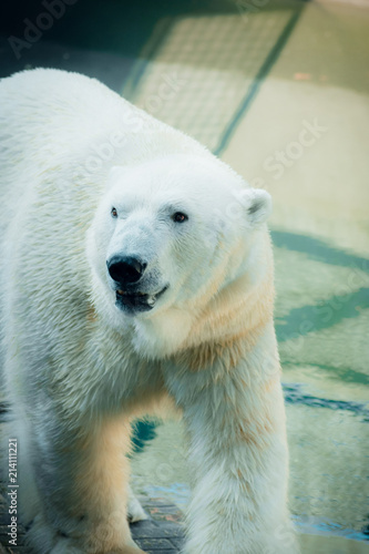 Canvas Ijsbeer Portrait of a polar bear