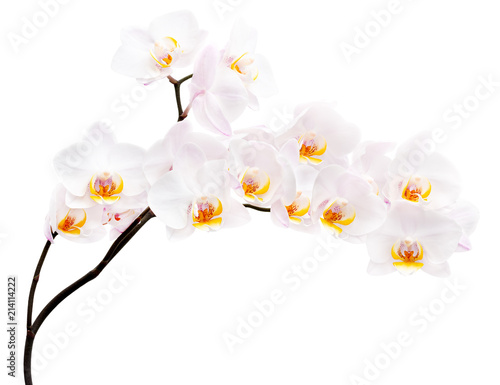 Fototapeta Orchid flowers isolated on white background