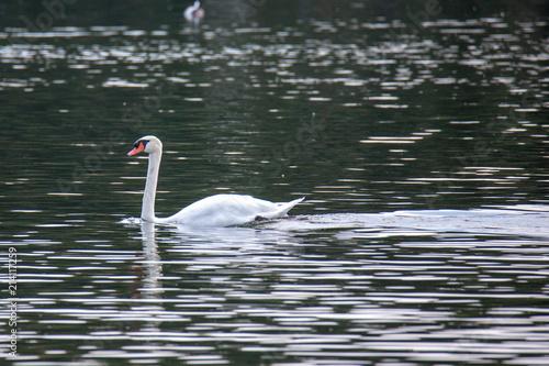 Fotobehang Zwaan A beautiful swan cruising along a lake in the afternoon