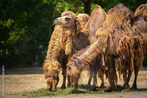 Canvas Kameel Three Bactrian camels feeding