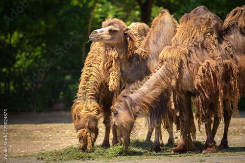 Fotobehang Kameel Three Bactrian camels feeding